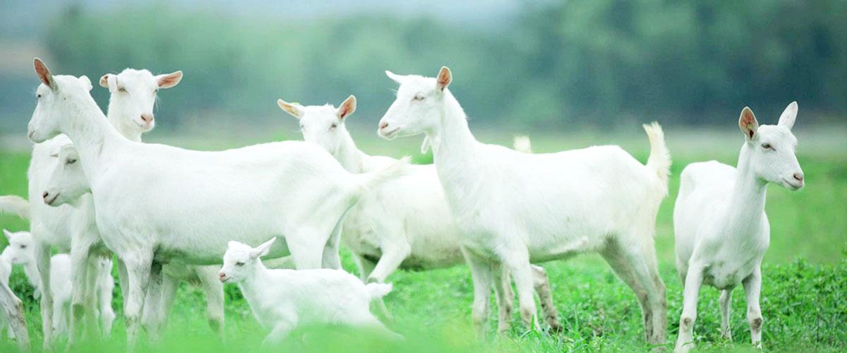 欧铂佳羊奶粉-更营养的奶源品质