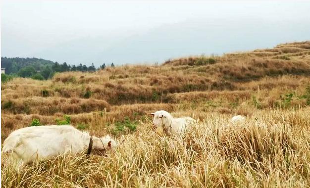 传统养羊技术