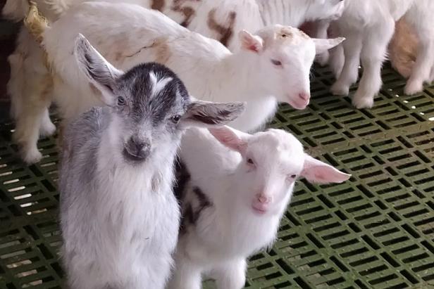 羴牧欧铂佳的羊群