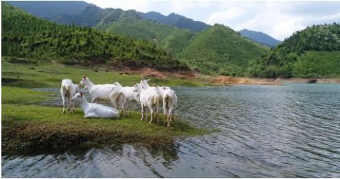 国产羊奶粉品牌-欧铂佳-奶山羊