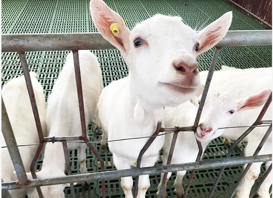欧铂佳-羊只